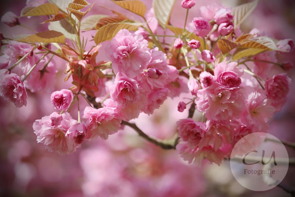 Zur Kirschblüte im Japanischen Garten
