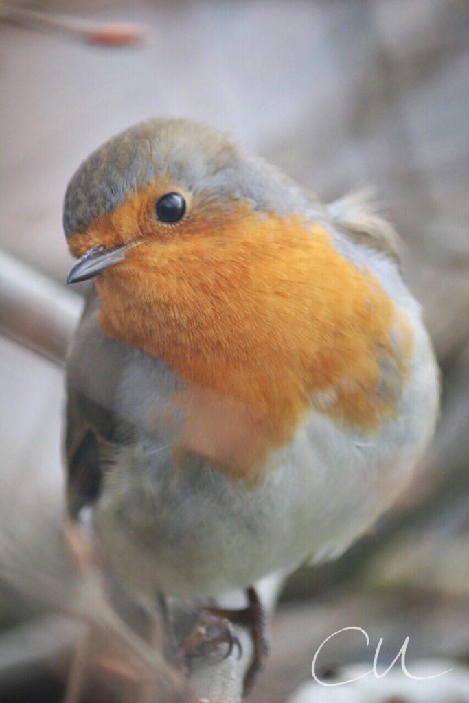 Auge in Auge mit kleinem Rotkehlchen